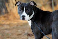 Pitbull Terrier mixed breed bulldog stock photos