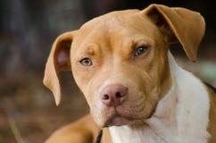 Pitbull Terrier mixed breed dog stock photos