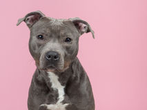 Pitbull terrier in pink Royalty Free Stock Photos