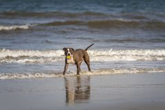 Pitbull Terrier. Playing on the Fernandina Beach, Amelia Island stock photo