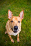Pitbull trakenu Lab Mieszający pies Zdjęcia Royalty Free