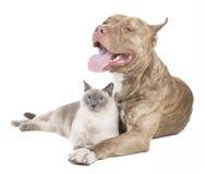 Pitbull und eine Katze Stockfotografie