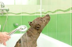 Pitbull valp som tar en dusch Arkivbilder