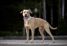 Pitbull for a walk Stock Image