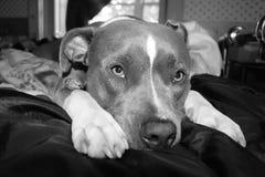Pitbullportret Zwart-witte 2 Royalty-vrije Stock Fotografie