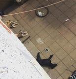 Pitbulls наслаждаясь солнцем Стоковое Изображение RF