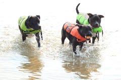 Pitbulls aimant le temps de l'eau ! Images stock