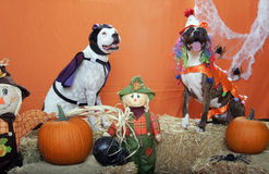 Pitbulls dressed up for Halloween in studio. Two Pitbulls dressed up for Halloween in a studio posed shot Royalty Free Stock Photography