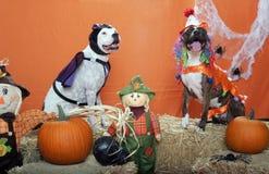 Pitbulls uppklädd för Halloween i studio Royaltyfri Fotografi