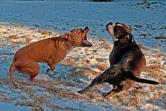 Pitbullspiel, das mit Olde-Englisch-Bulldogge kämpft Lizenzfreie Stockbilder