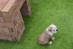 Pitbullstatue setzen sich auf dem Feld hin und schauen vorwärts stockbilder