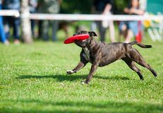 Pitbullterrier running through green meadow golding a red disk Royalty Free Stock Photo