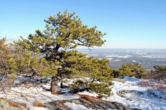 Pitch Pine [pinus rigida] Royalty Free Stock Images