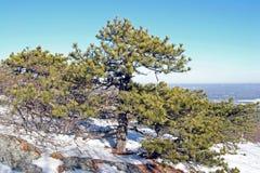 Pitch Pine [pinus rigida] Stock Images