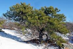 Pitch Pine [pinus rigida] Royalty Free Stock Photos