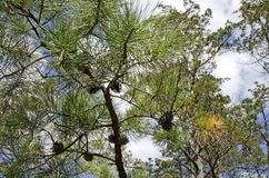 Pitch Pine. Branch, Pinus rigida, showing cones and three needle bundles.  is the predominant pine in the New Jersey pine barrens, able to grow in poor soil and Stock Photos