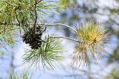 Pitch Pine. Branch, Pinus rigida, showing cones and three needle bundles.  is the predominant pine in the New Jersey pine barrens, able to grow in poor soil and Royalty Free Stock Images