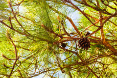 Pitch Pine trees with fresh pine cones and green pine needles Stock Photos