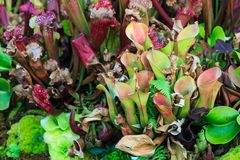 Pitcher Bunch. Two species of tubular pitcher plants bunched together Stock Photo
