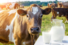 A pitcher with a glass of milk and a cow . A pitcher with a glass of milk and a cow on the background of meadows Royalty Free Stock Photos