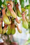 Pitcher plant. Flower of pitcher plant close up Royalty Free Stock Photo