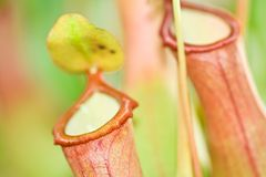 Pitcher plant. Flower of pitcher plant close up Stock Image