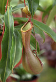 Pitcher Plant Stock Image