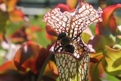 The Pitcher Plant and the Bee Royalty Free Stock Photo