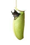 Pitcher plant and Bug Stock Photo