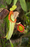 Pitcher plant Stock Images
