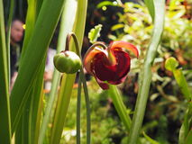 Pitcher plant flowering Stock Images