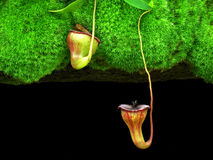Pitcher plant with green grass and black background Stock Photography