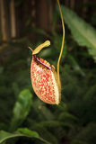 Pitcher plant in green house Stock Photos