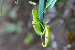 Pitcher plant. A pair of pitcher plant, just waiting insect to get trap in there Royalty Free Stock Images