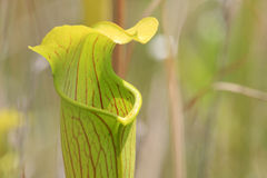 Pitcher Plant Sarracenia alata Stock Photos
