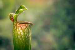 Pitcher Plant Royalty Free Stock Photo