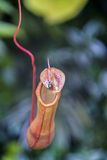 Pitcher plant Royalty Free Stock Photos