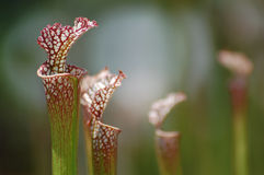 Pitcher Plants Stock Photos