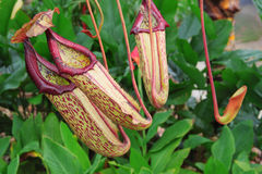 Pitcher plants. Three pitcher plants waiting for prey Stock Photo