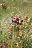 Pitcher Plants Royalty Free Stock Photo