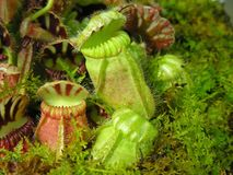 Pitcher Plants Stock Image