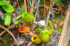 Pitcher plants, Borneo, Malaysia Royalty Free Stock Photos