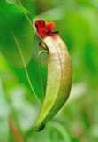 Pitcher plants Stock Photography