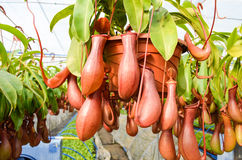 Pitcher plants in a greenhouse.  Royalty Free Stock Images