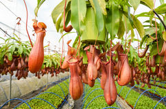 Pitcher plants in a greenhouse Royalty Free Stock Images