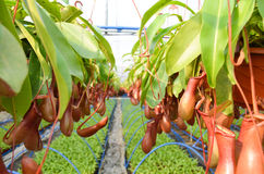 Pitcher plants in a greenhouse Royalty Free Stock Image