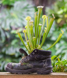 Pitcher plants in an old shoe Royalty Free Stock Photos