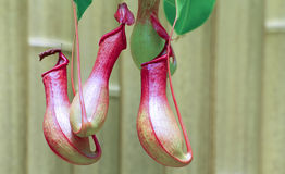Pitcher plants Royalty Free Stock Photos