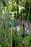 Pitcherplant doce do rubra do Sarracenia Fotografia de Stock Royalty Free