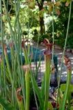 Pitcherplant dulce del rubra del Sarracenia Fotografía de archivo libre de regalías